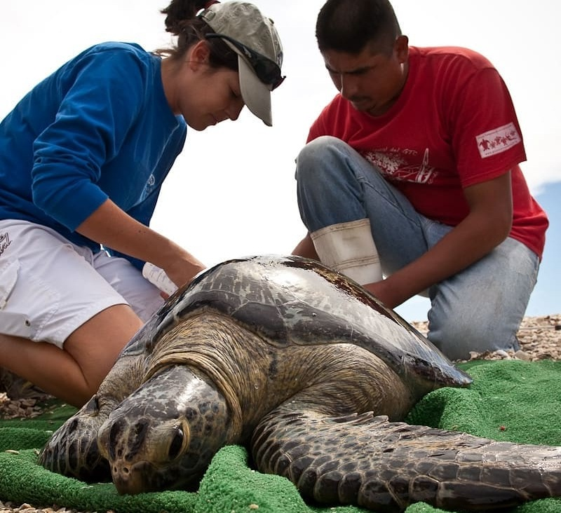 LOCAL VOLUNTEERS RESCUE TURTLES, LIKE THIS HAWKSBILL, CAUGHT IN FISHING LINE, TOO. THEY WILL COLLECT ITS DATA AND RELEASE IT. IMAGE THANKS TO RED TRAVEL MEXICO.