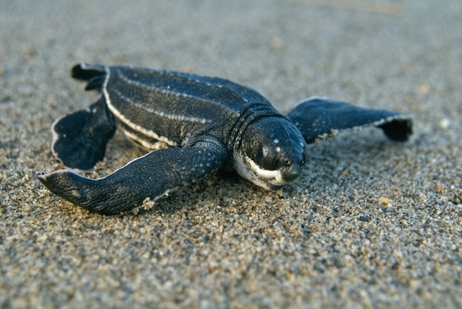 Costa Rica Leatherback Turtle Volunteer Vacation