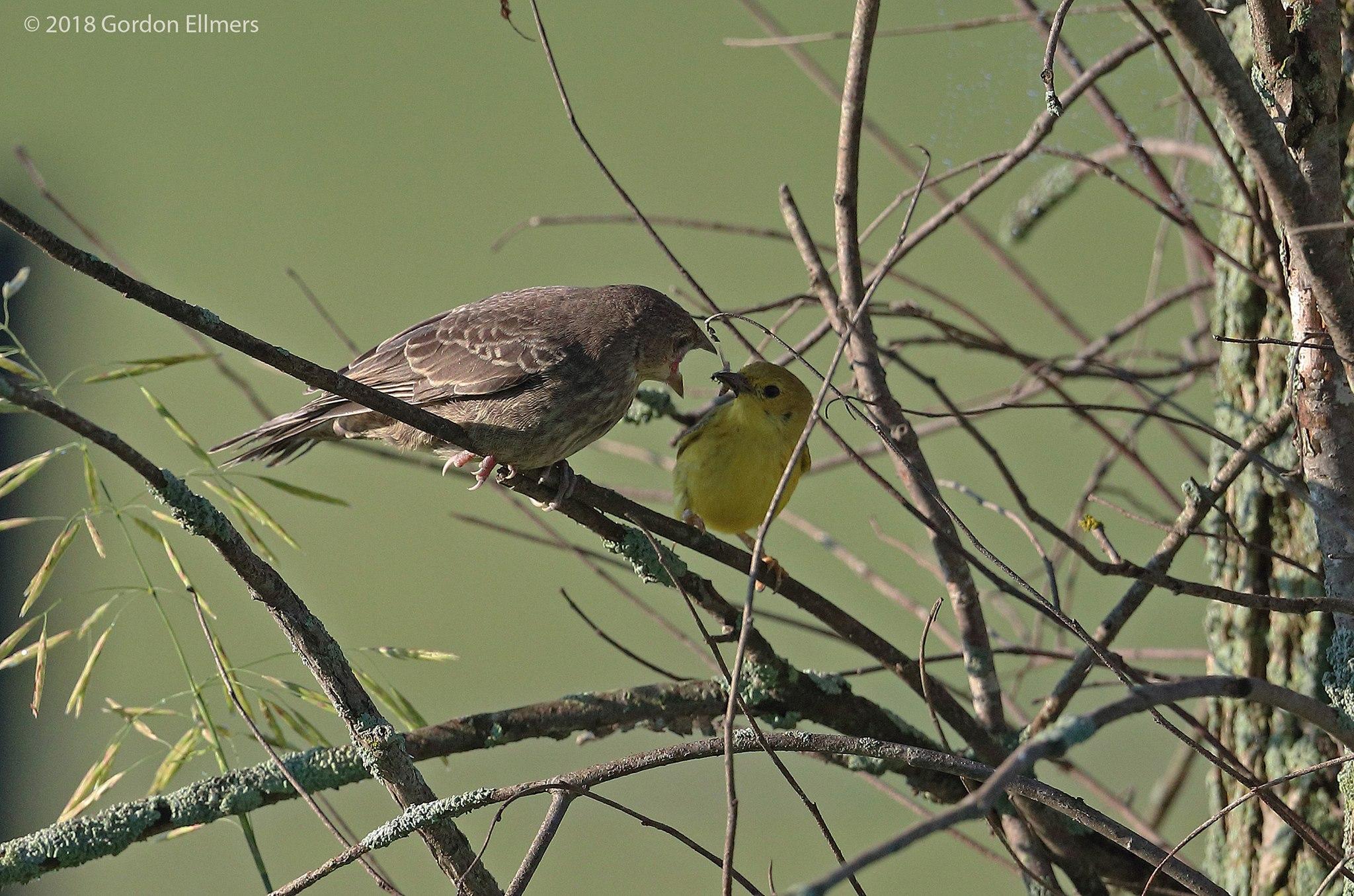 "Brown Cowbird Demanding Food From Yellow Warbler ""Parent"""