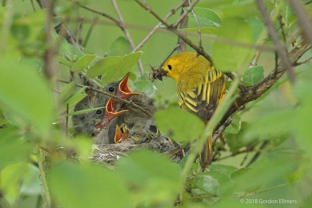 Yellow Warbler Feeding Yellow Warbler Chicks