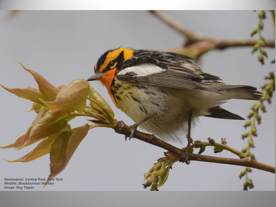 Day 1-5: Blackburnian warbler in Central Park