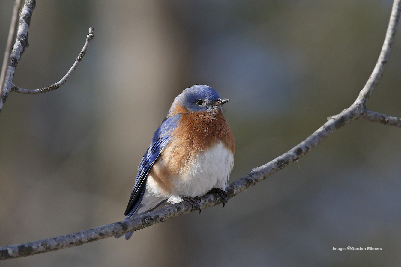 Extension: Blue birds are another species that nest in the Fort Edward area