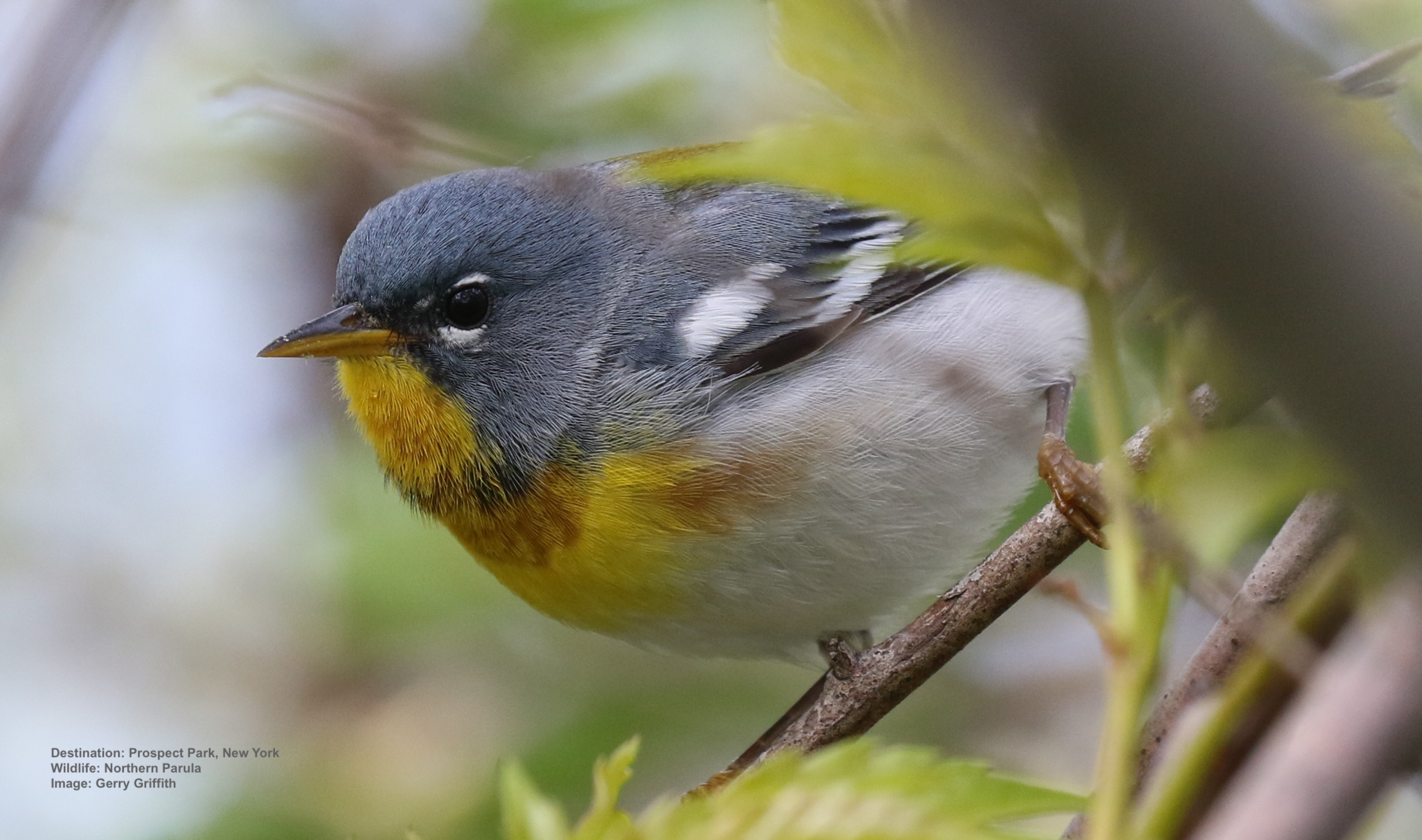 Day 1-5: Northern Parula warbler, Prospect Park, New York