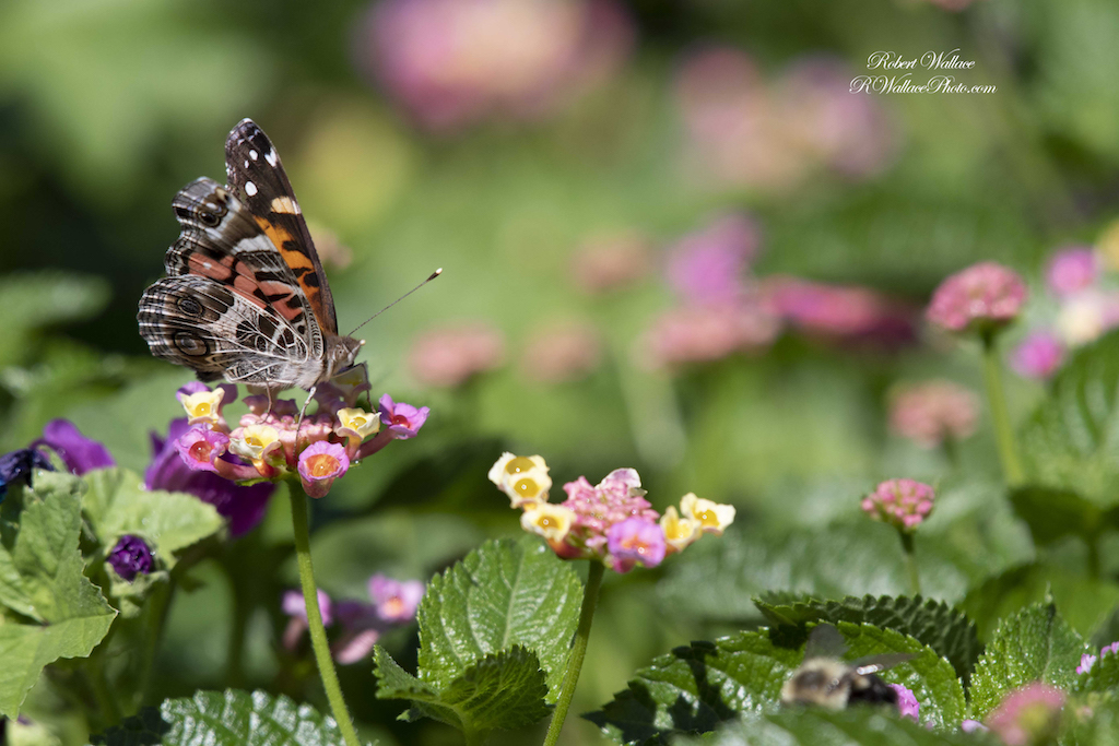 RED ADMIRAL BUTTERFLY WITH PINK AND MULTY COLORED FLOWERS. SHOT AT F6.3; 1/1250TH SEC; ISO 400. CAMERA: NIKON D500 and NIKON200-500MM LENS. NO FLASH IMAGE: ©ROBERT WALLACE