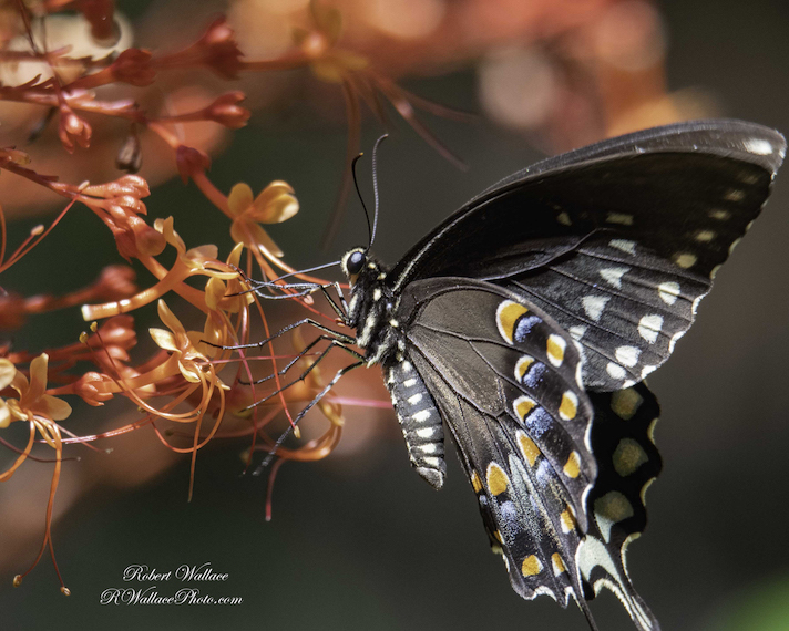 SPICEBUSH SWALLOWTAIL BUTTERFLY SHOT AT F/7.1; 1/400TH SEC AND ISO 640. CAMERA: NIKON D500, LENS TAMRIN 150-600MM G2 SERIES NO FLASH. NO FILTER. IMAGE: ©ROBERT WALLACE
