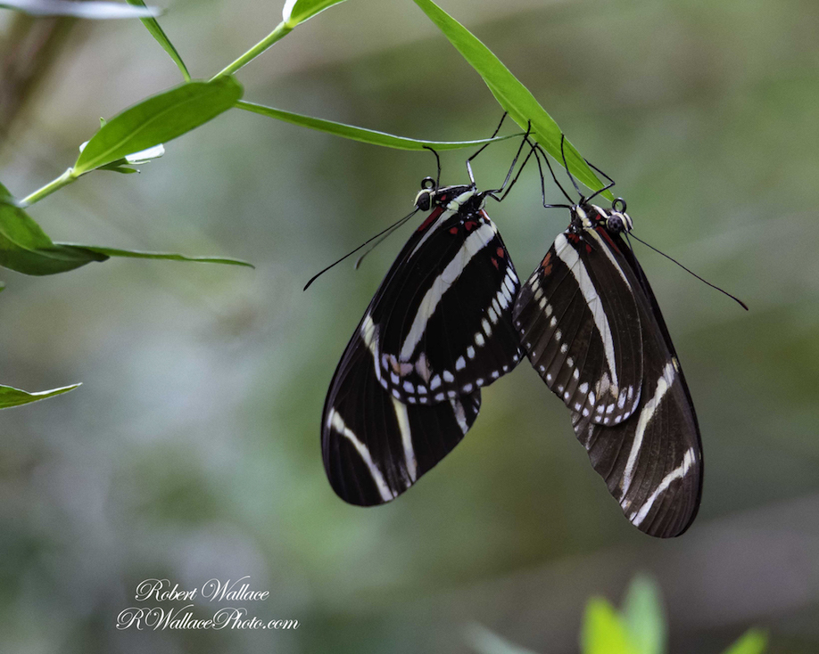 ZEBRA LONG WING BUTTERFLY SHOT AT F6.3; 1/640TH SEC; ISO 2000; CAMERA NIKON D750 and LENS SIGMA 150-600MM CONTEMPORARY. NO FLASH IMAGE: ©ROBERT WALLACE