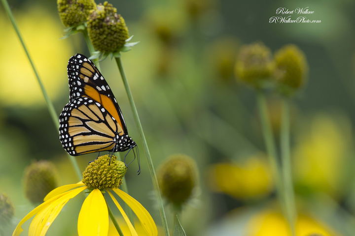 MONARCH BUTTERFLY SHOT AT F/6.3; 1/200TH SEC; AND ISO 450. CAMERA: NIKON D7100 and NIKON 200-500mm LENS WITH FLASH IMAGE: ©ROBERT WALLACE