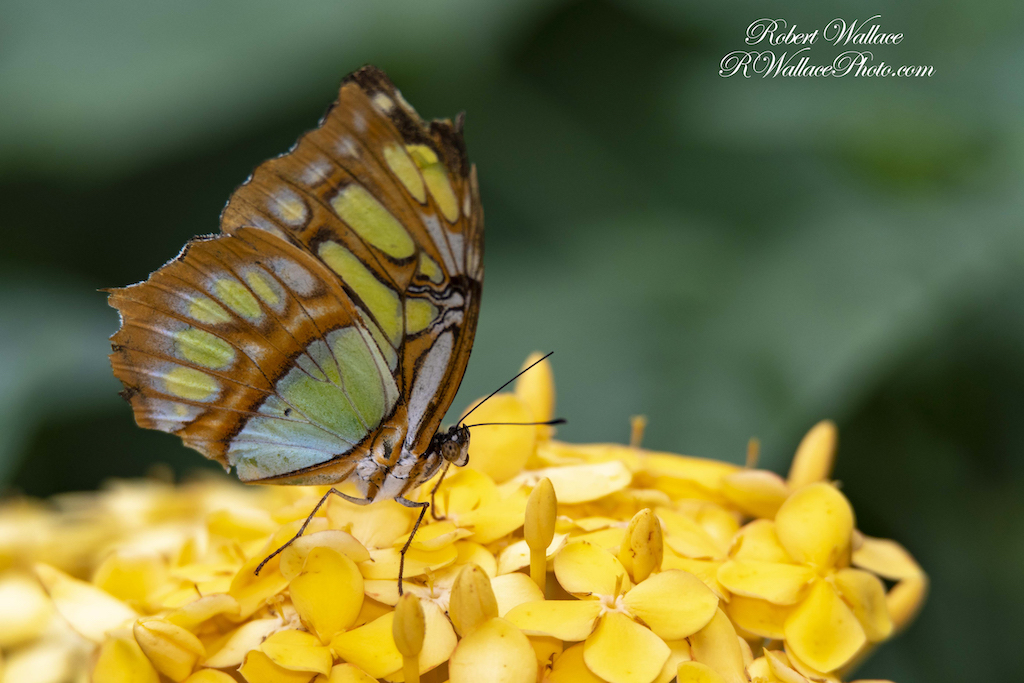 MALACHITE BUTTERFLY SHOT AT F6.3; 1/400TH SEC; ISO 320. CAMERA: NIKON D500 AND TAMRON 150-600MM G2 LENS. FLASH USED IMAGE: ©ROBERT WALLACE