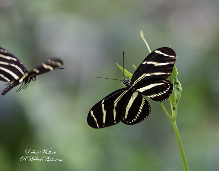 ZEBRA LONG WING BUTTERFLY SHOT AT F6.3; 1/500TH SEC; ISO 2000; CAMERA NIKON D750 and LENS SIGMA 150-600MM CONTEMPORARY. NO FLASH IMAGE: ©ROBERT WALLACE