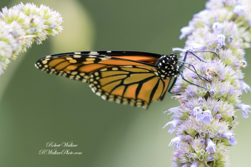 MONARCH BUTTERFLY SHOT AT F/5.6; 1/640tTH SEC; AND ISO 3600. CAMERA NIKON D500 and NIKON 200-500MM LENS. NO FLASH IMAGE: ©ROBERT WALLACE