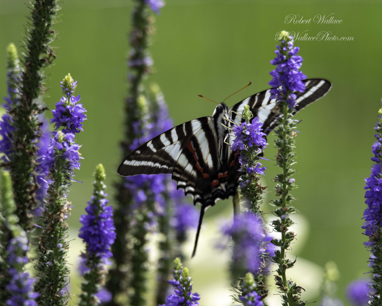 ZEBRA SWALLOWTAIL BUTTERFLY SHOT AT F/7.1; 1/320TH SEC; ISO 125. CAMERA CANON D500 and TAMRON 150-600MM G2 LENS. NO FLASH IMAGE: ©ROBERT WLLACE