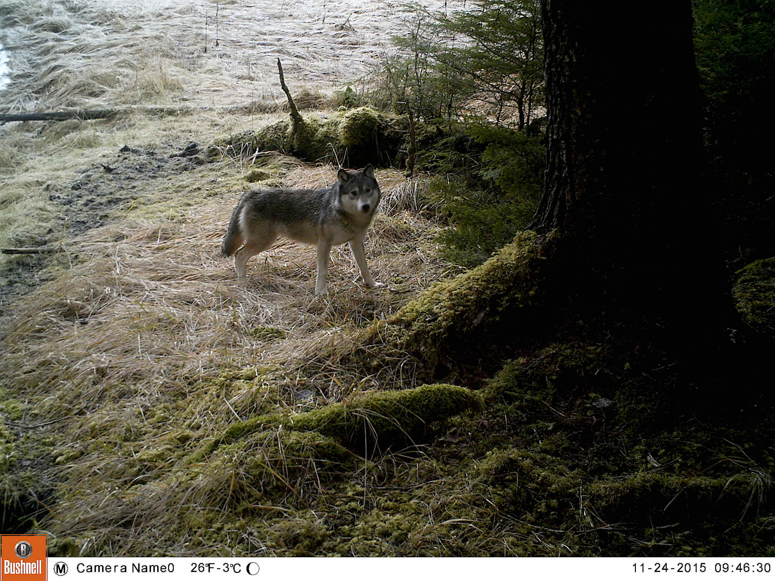 Day 3. The Wolves of Prince of Wales Island, Tracking & Data Collection