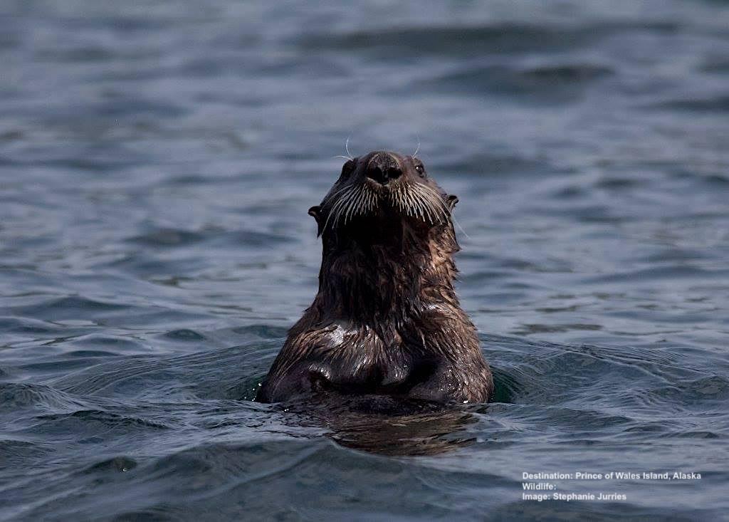 xSJ Sea Otter 7.18.17 19800953_10159008805605504_7263423965312638937_o copy.jpg