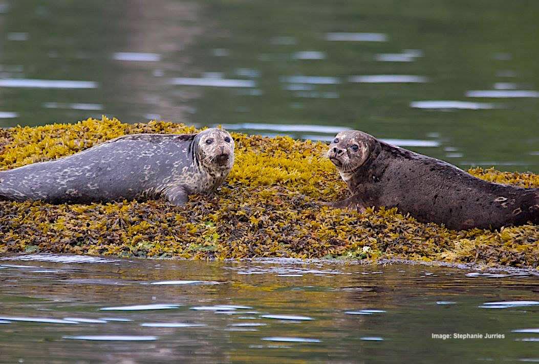 oSJ Sea lions ? 7.08.17 19942935_10159008801320504_326094930471208290_o.jpg