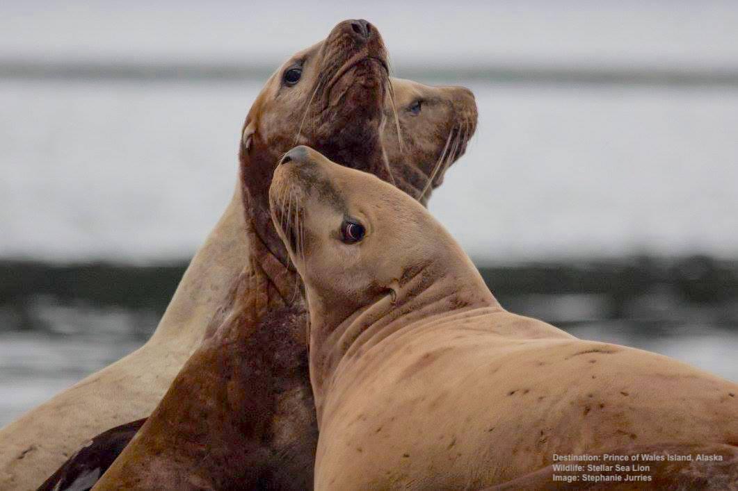 oSJ Steller Sea Lions 11.11.17 23415530_10159587202585504_2558956853121111759_o.jpg