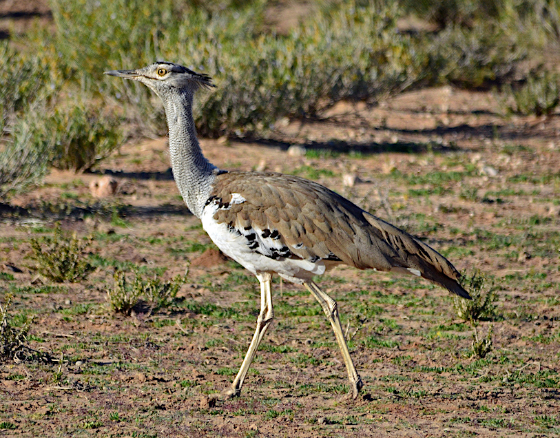 DAY 3: MAGOEBASKLOOF TO KRUGER NATIONAL PARK , KORI BUSTARD