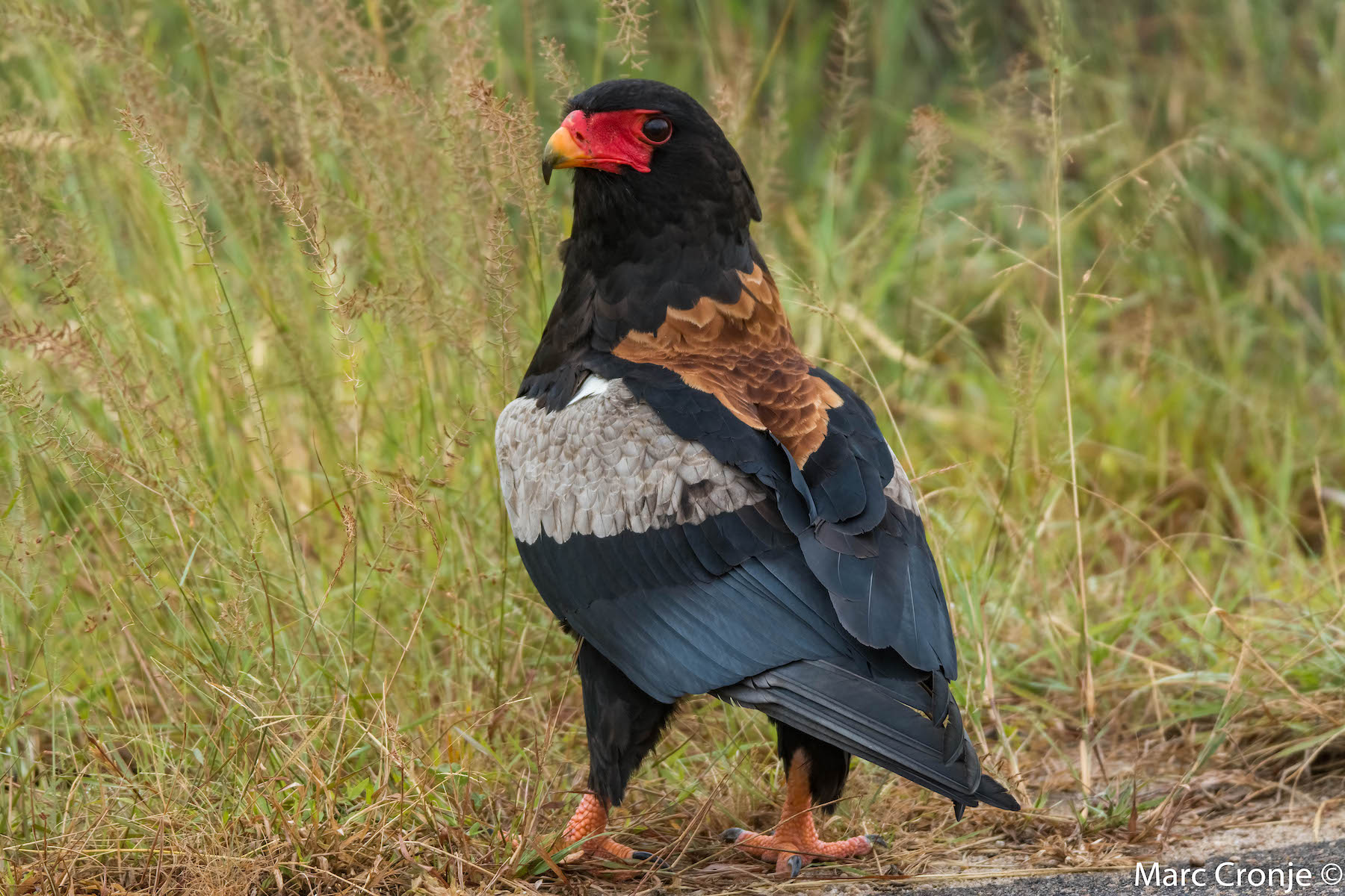 DAY 3 -8: KNP,  BATELEUR EAGLE