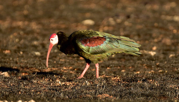 DAY 10: WAKKERSTROOM, BALD IBIS