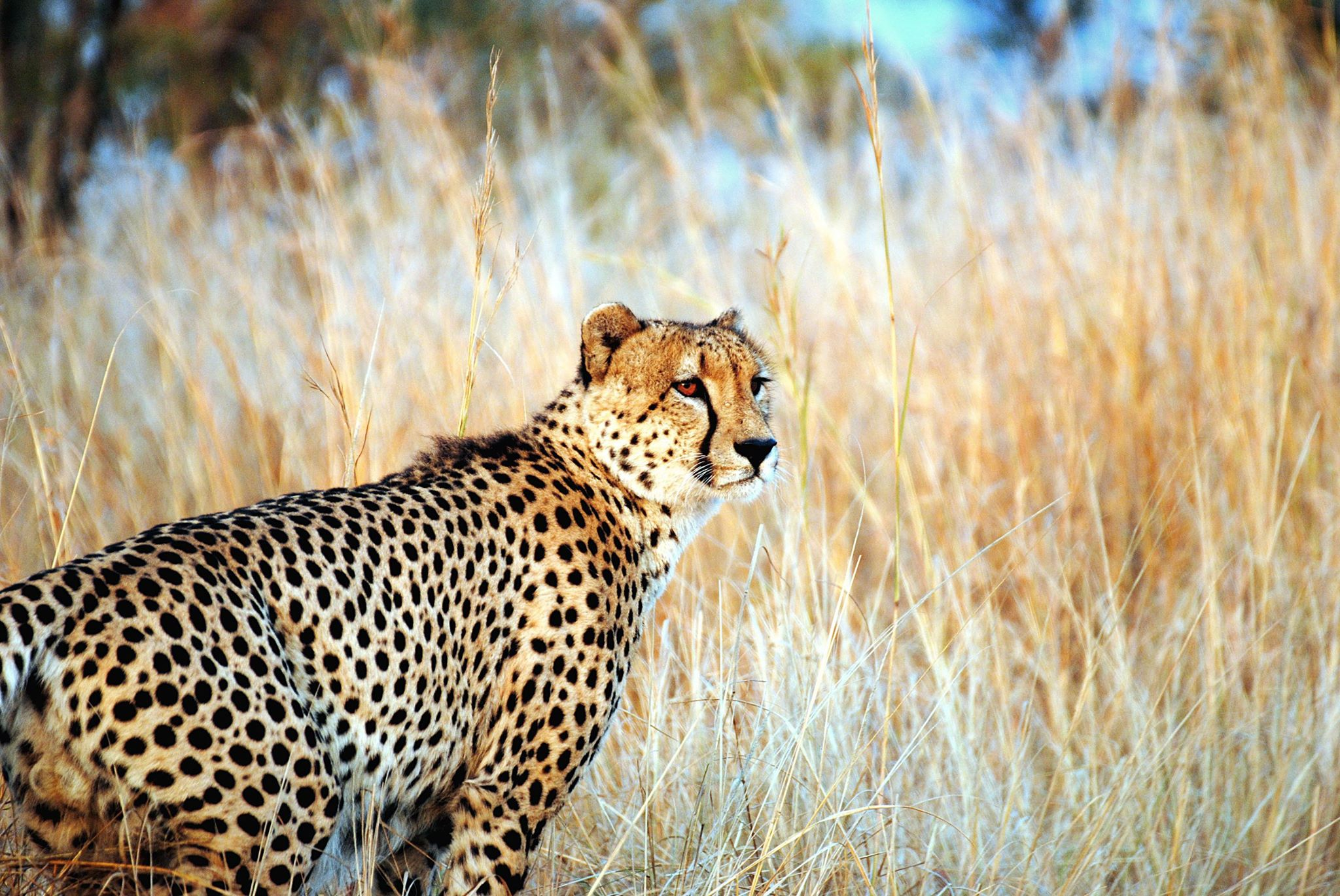 DAY 12: MKUZE NATIONAL PARK, CHEETAH