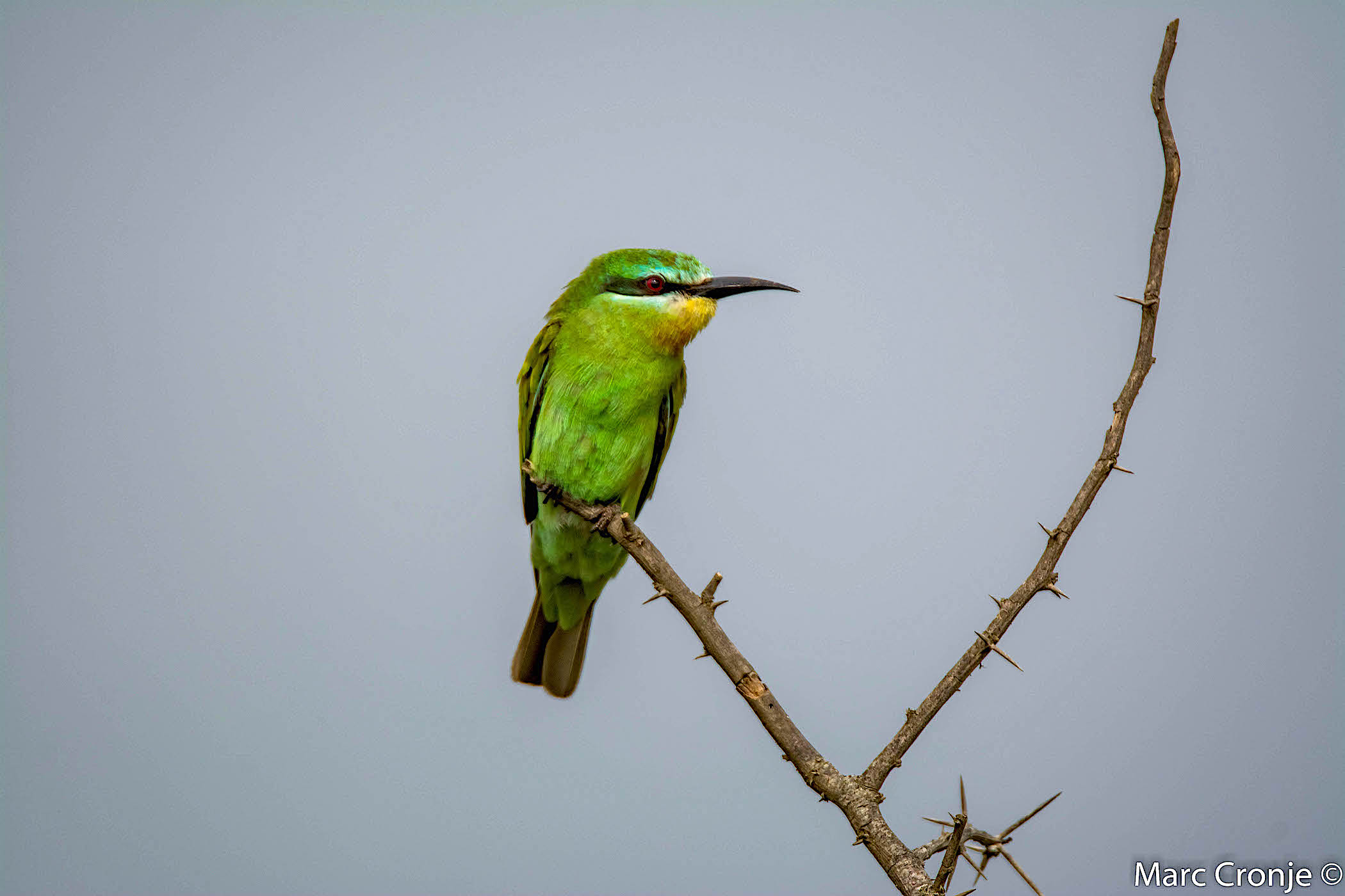 DAY 13: MTUNZINI, BLUE CHEEKED BEE EATER