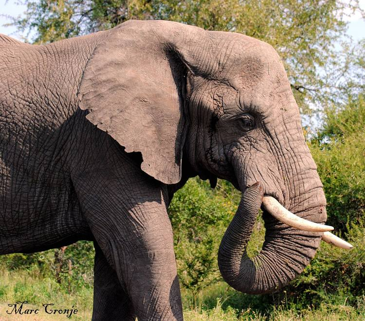 Wildlife Guide: African Elephant