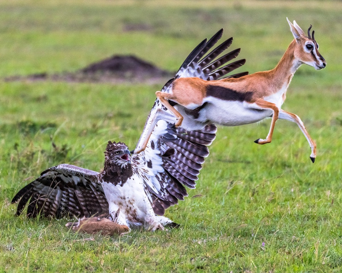 NEITHER THE THOMSON'S GAZELL FAUN, NOR ITS MOTHER WERE ANY MATCH FOR THE POWERFUL MARTIAL EAGLE. DOMESTIC GOAT AND LAMB HAVE ALSO FALLEN PREY. THIS RARE IMAGE WAS TAKEN IN KENYA BY © Linda winward Skeen.