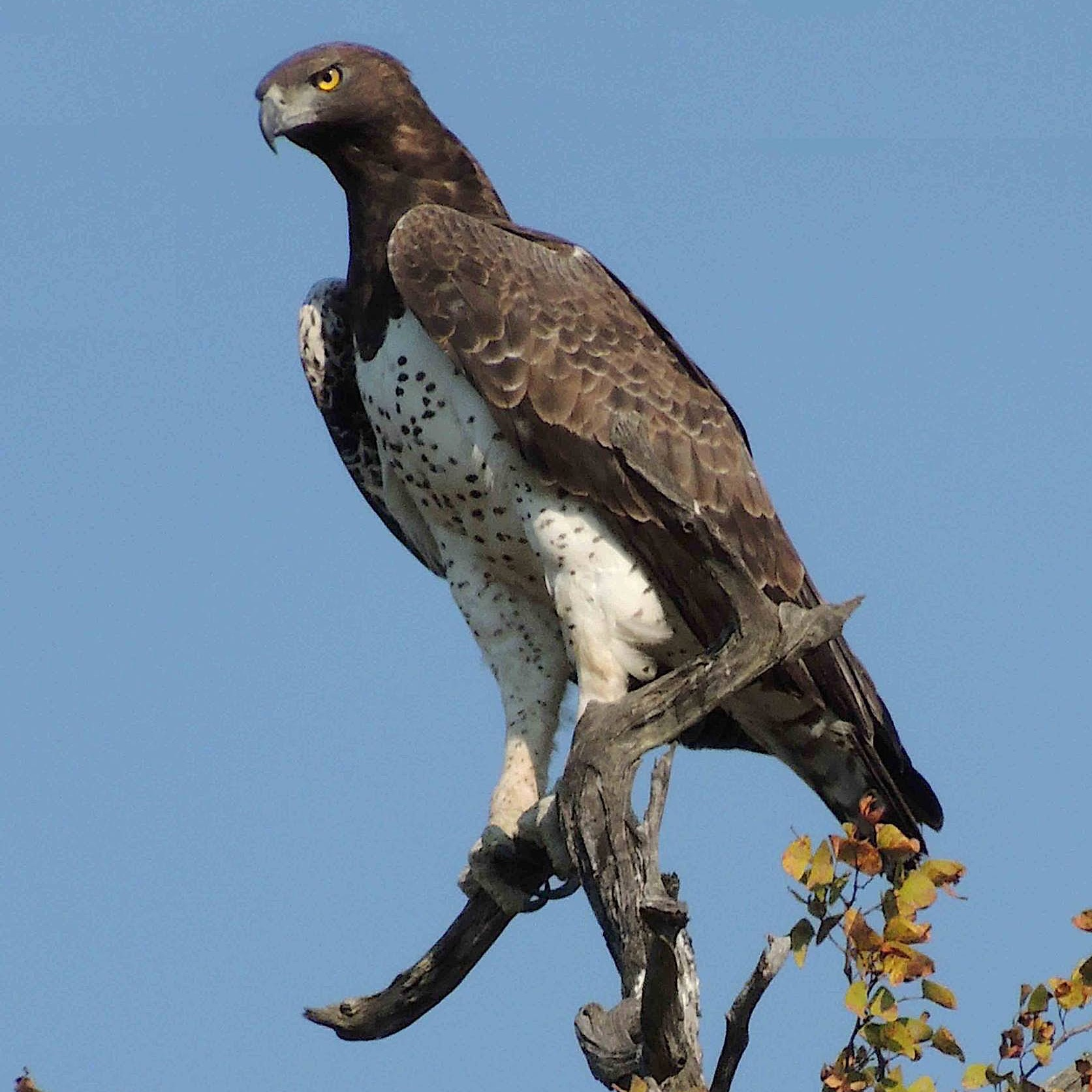 MARTIAL EAGLE, AFRICA'S LARGEST, MOST POWERFUL WEIGHS IN AT ALMOST 14 PUNDS (6.4KG) AND HAS AN ADULT WINGSPAN OF BETWEEN 6.5 FEET (200 CM) TO 8.5 FEET (260 CM) IMAGE: MEGAN MURGATROYD THANKS TO  AVIAN EDUCATION AND CONSERVATION NETWORK
