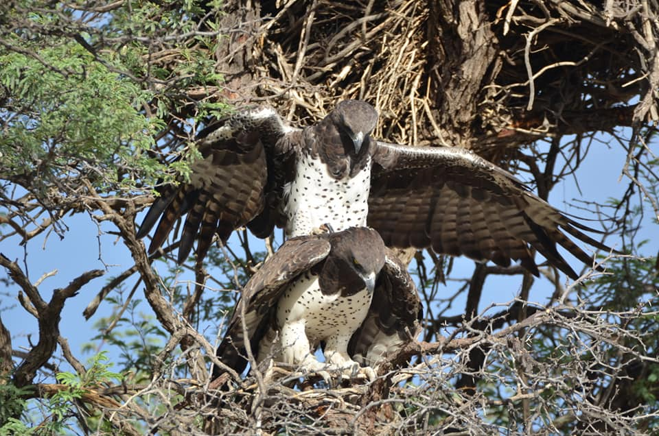 HABITAT LOSS IS PUTTING A BIG STRAIN ON MARTIAL EAGLE LOVE. With a  HOME RANGE UP TO 50 SQ. MILES (80.5KM)  THEY MAY TRAVEL A HUNDRED MILES (161KM) OR MORE TO FIND A MATE. AS HABITAT SHRINKS, THE LIKELIHOOD OF SUCCESS IS SHRINKING. BUT SOMETIMES THEY GET LUCKY. IMAGE:  ©TOETSEI TERBLANCHE.