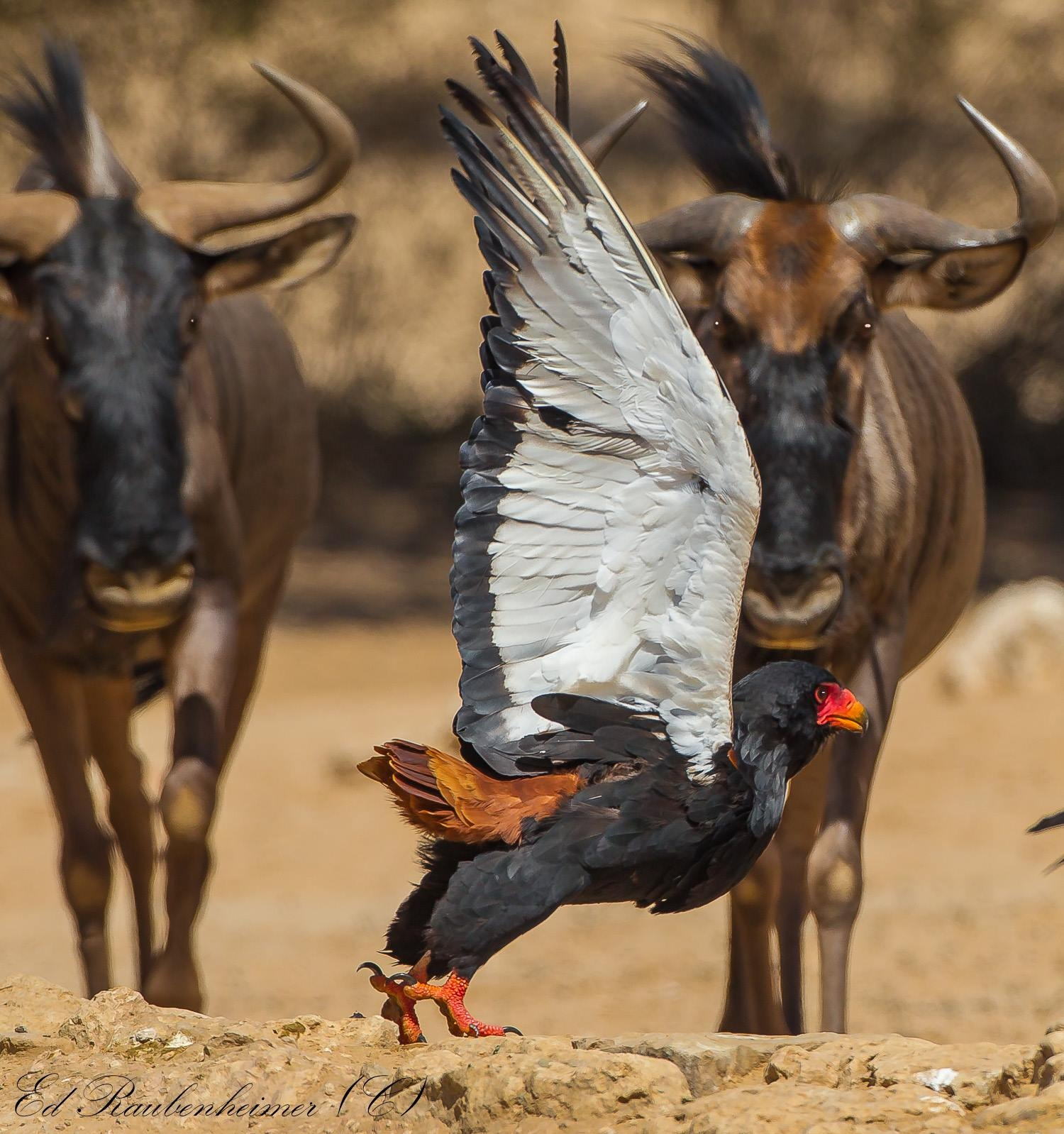 BATELEUR EAGLES DO NOT BACK DOWN. EVEN WITH TWO AGAINST ONE THIS BIRD DOES NOT LOOK WORRIED. IMAGE: © ED RAUBINHEIMER