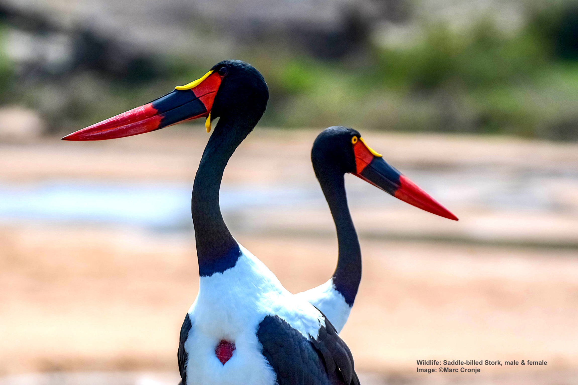"A PAIR OF SADDLE-BILLED STORKS, ALTHOUGH SILENT IN LIFE THEY PLAYED A VITAL ROLE IN ANCIENT EGYPTIAN COMMUNICATION WHERE ITS LIKENESS WAS USED TO DENOTE THE HIEROGLYPHIC LETTER ""BA,"" PART OF RHE ANCIENT DEPICTION OF THE PHARAOH KHABA'S NAME. IMAGE:  ©MARC CRONJE"