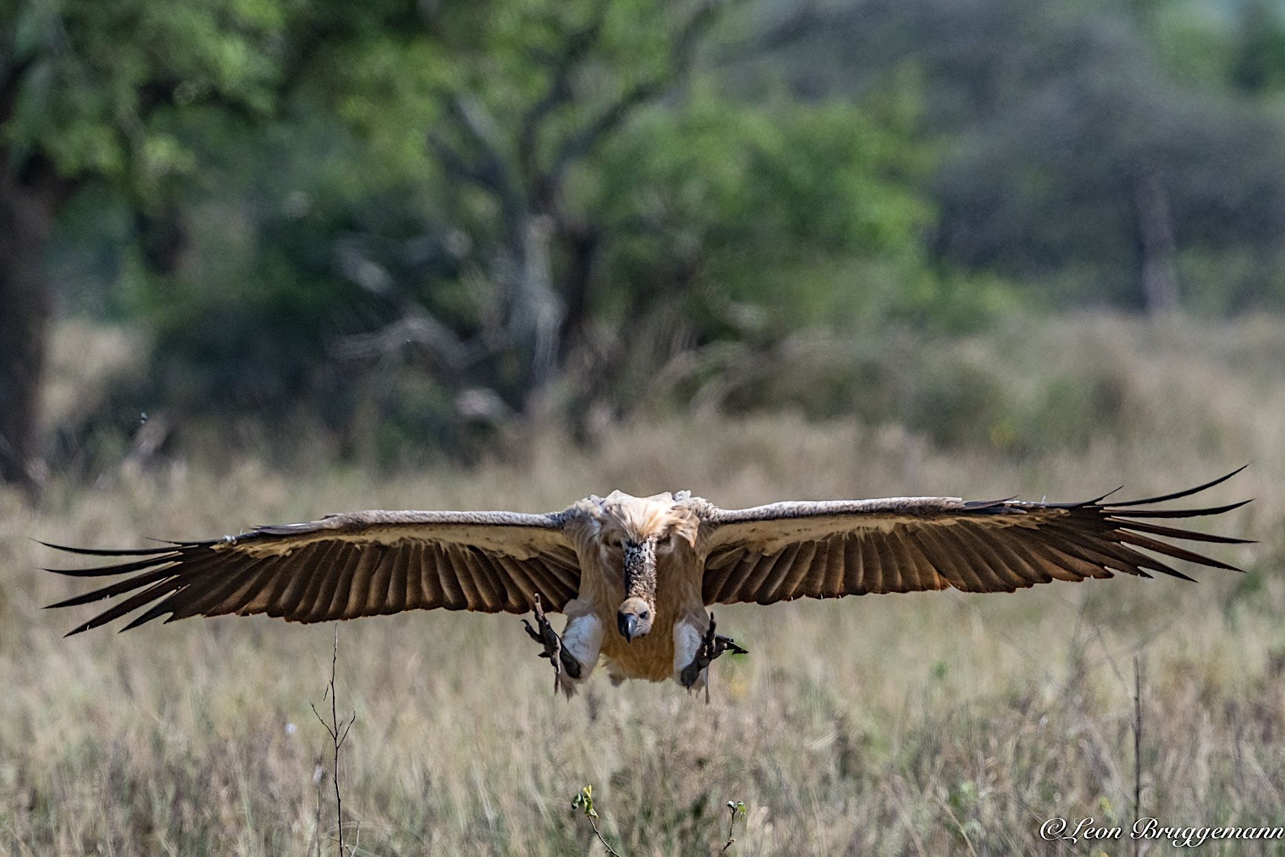 WHITE BACKED VULTURE COMING IN FOR A LANDING. VULTURES DO NOT HUNT AT ALL, THEY LIVE ENTIRELY ON CARRION. IMAGE:  ©LEON BRUGGEMANN