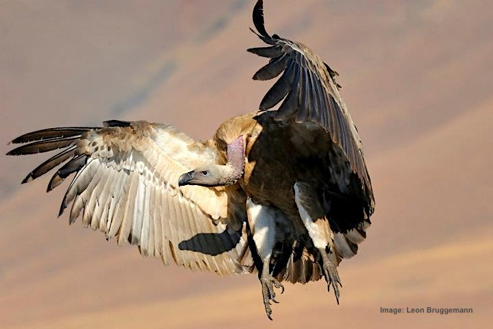 cape vultures, like all of their species, have weak feet and so can not carry food away, they must as they see food immediately. image:  ©leon Bruggeman