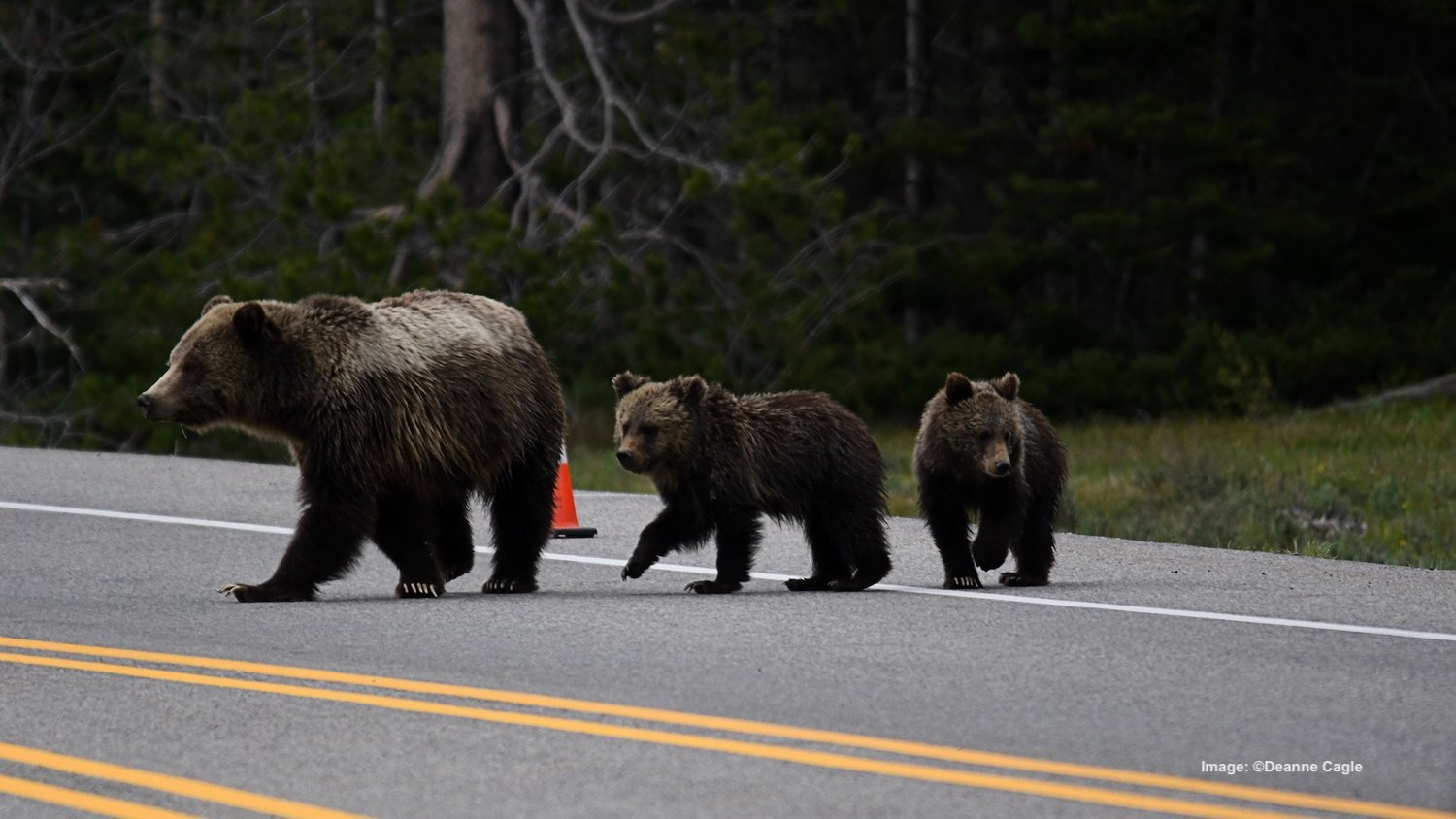 THERE IS A 100-YARD RULE FOR BEAR PROXIMITY IN THESE TWO PARKS. HOWEVER, YOU CAN PHOTOGRAPH THEM FROM YOUR VEHICLE. BEAR #794 AND HER CUBS, GRAND TETON NATIONAL PARK. IMAGE:  ©DEANNE CAGLE