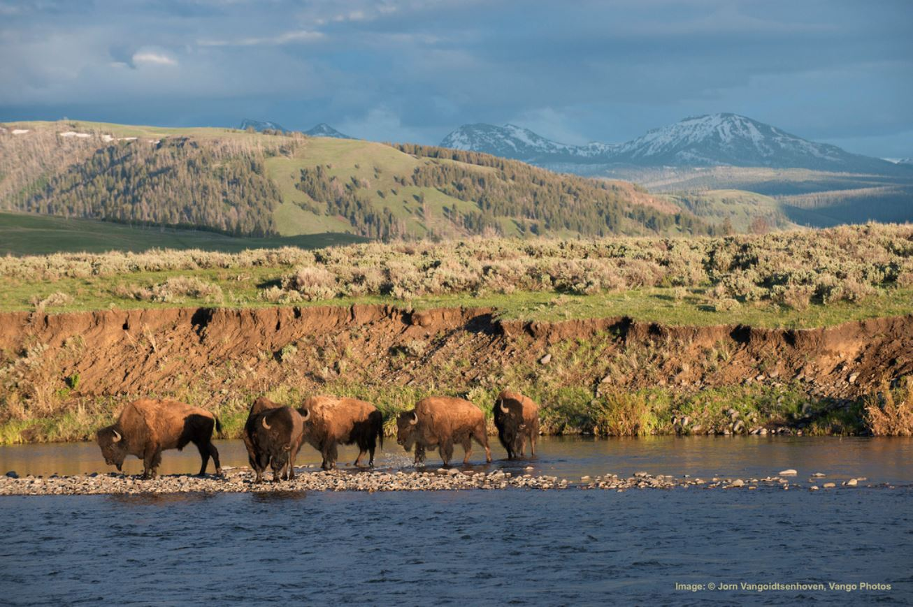 BISON ARE ONE OF THE MANY WILDLIFE LIFE SPECIES TO BE FOUND IN YELLOWSTONE'S LAMAR VALLEY. IMAGE:  ©Jorn Vangoidtsenhoven, Vango Photos