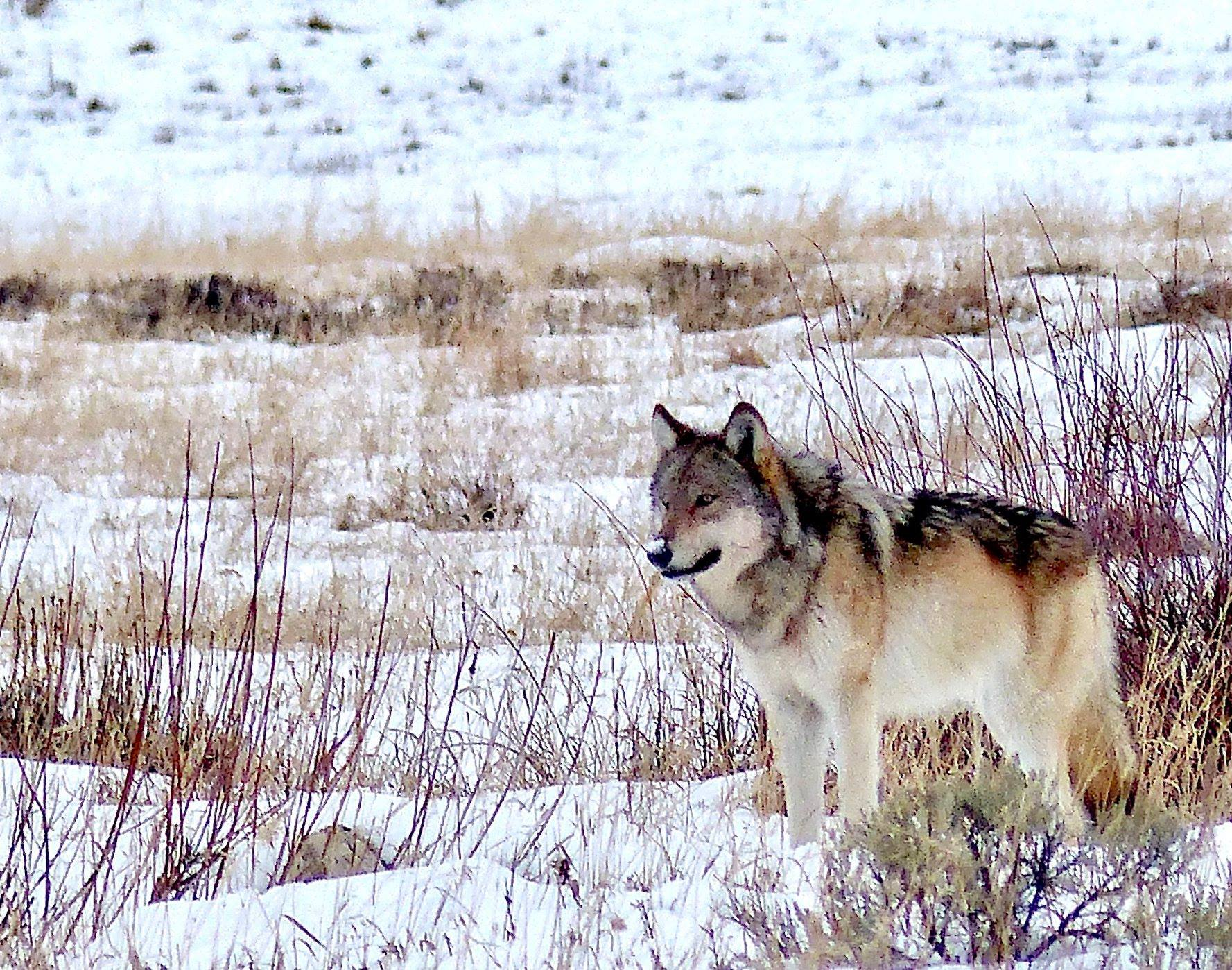 SINCE THEIR REINTRODUCTION IN 1995, GREY WOLVES HAVE HELPED RESTORE ECOLOGICAL BALANCE IN YELLOWSTONE. THEIR ECONOMIC VALUE TO THE PARK AND SURROUNDING AREAS IS 499 MILLION US DOLLARS ANNUALLY. IMAGE:  RICK LAMPAUGH, AUTHOR , CONSERVATIONIST, AND WOLF ADVOCATE