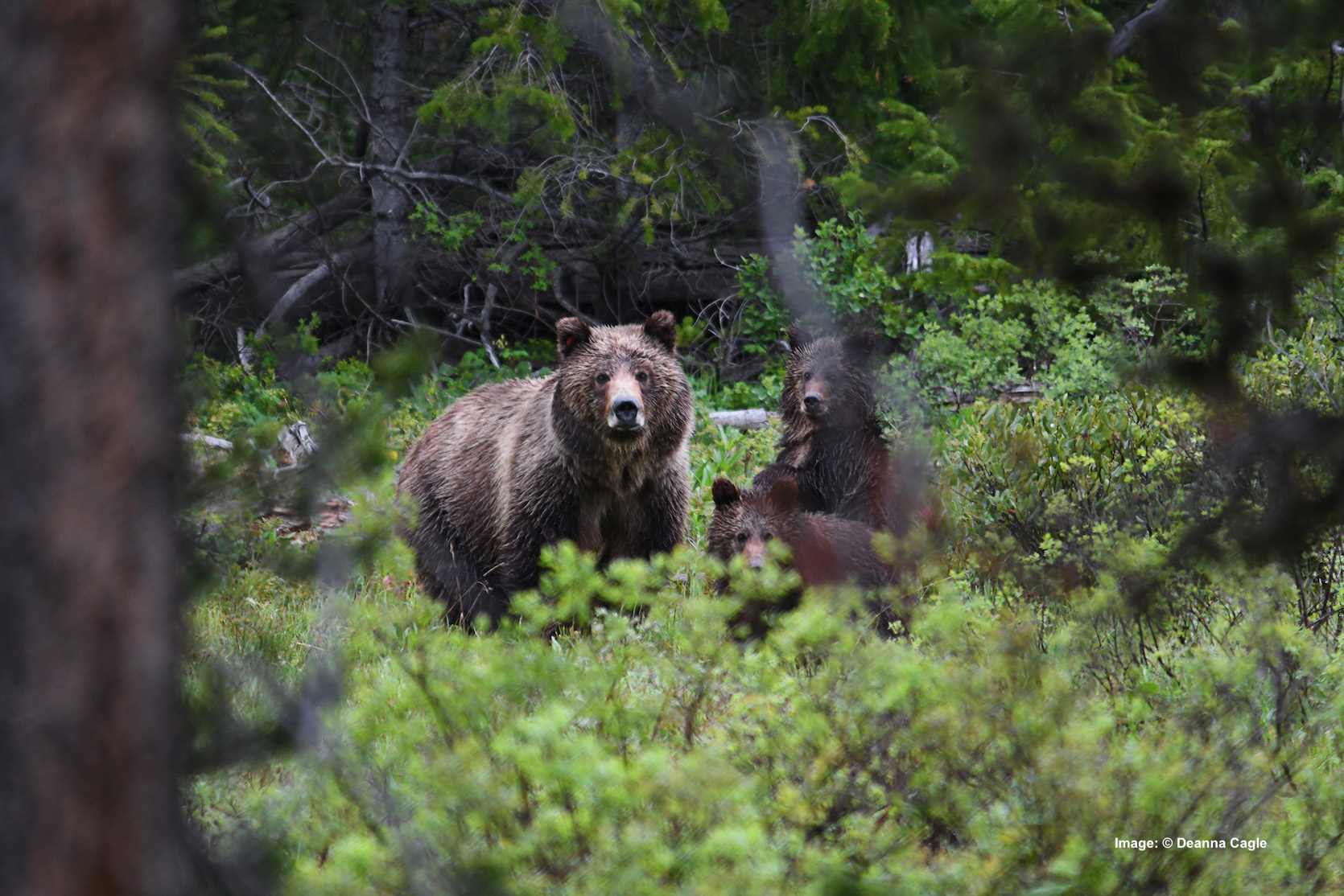 "ANOTHER GRAND TETON NATIONAL PARK ROCK-STAR, ""Blondie,"" GRIZZLY #793, AND HER CUBS PEAK THROUGH THE TREES AT THE PHOTOGRAPHER. Image:  ©Deanna Cagle"