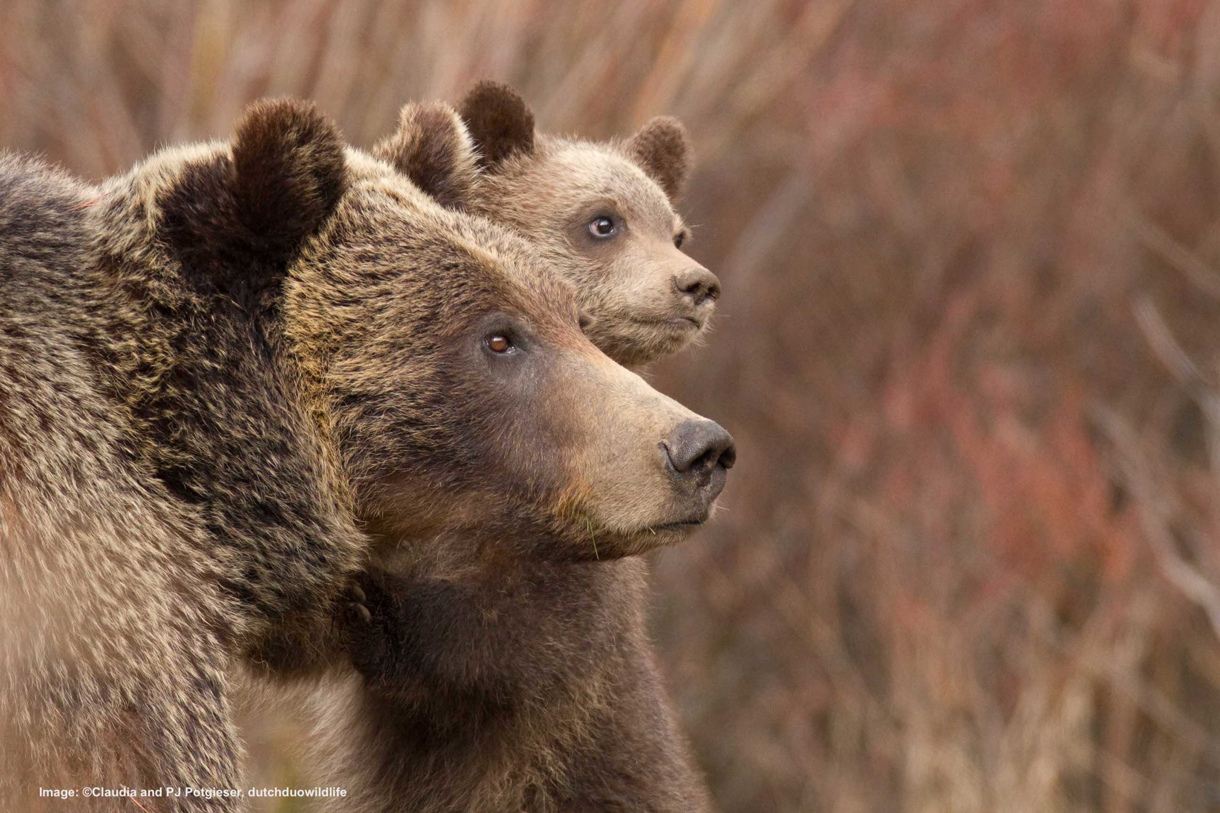 READY TO EMBARK ON A RESPONSIBLE GRIZZLY BEAR ADVENTURE? WATCH FOR JORN'S NEXT ARTICLE ON THE BEST PLACES TO VIEW AND PHOTOGRAPH GRIZZLY BEARS Image:  ©Claudia and PJ Potgieser, dutchduowildlife