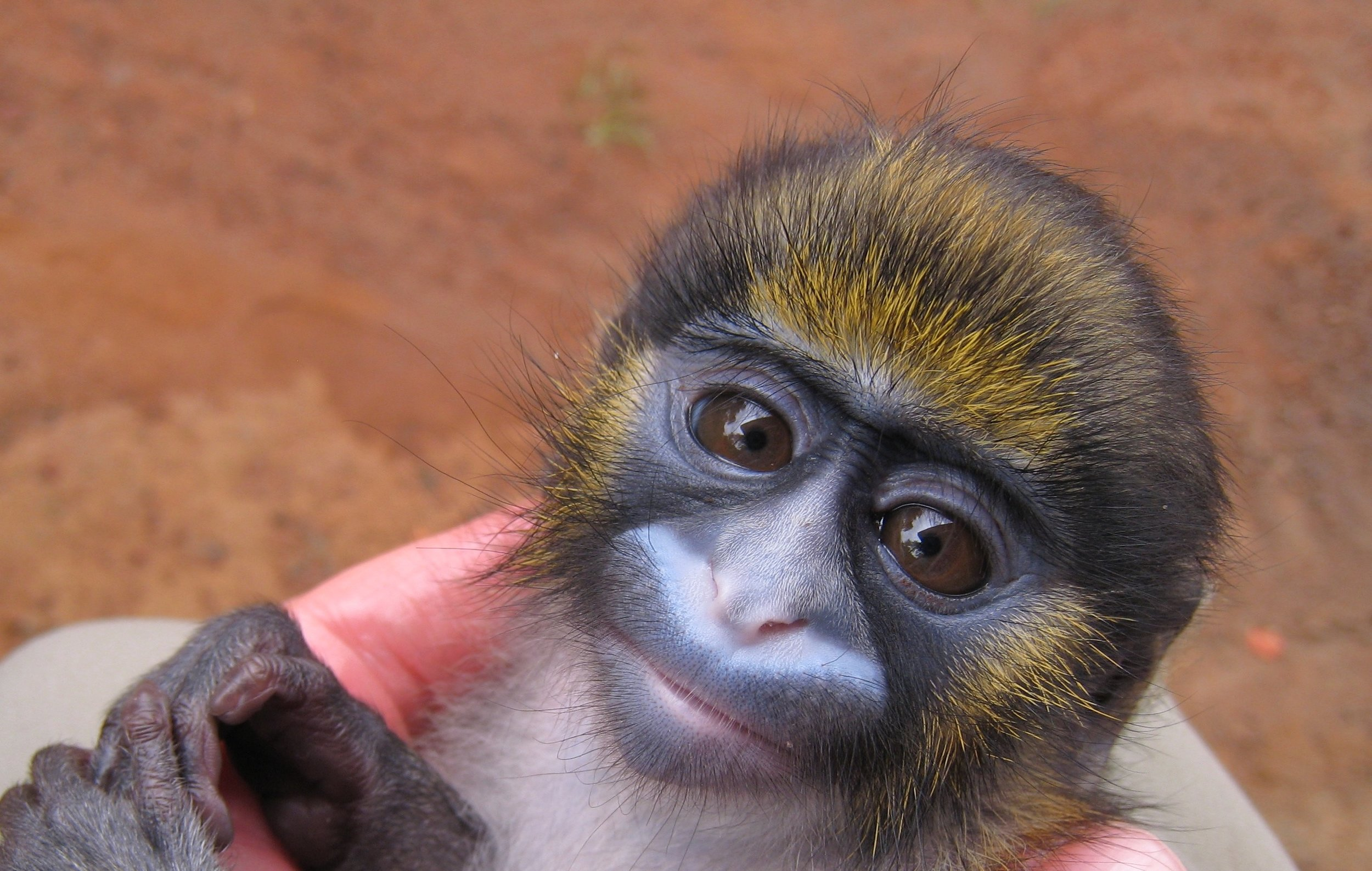 IT WAS A LIFE-ALTERING LOVE-AT- FIRST-sight-MOMENT WHEN ROBIN HUFFMAN MET THE FRIGHTENED ORPHANED INFANT NAMED MAASAI, A tiny MUSTACHED GUENON. IMAGE: ©ROBIN HUFFMAN.