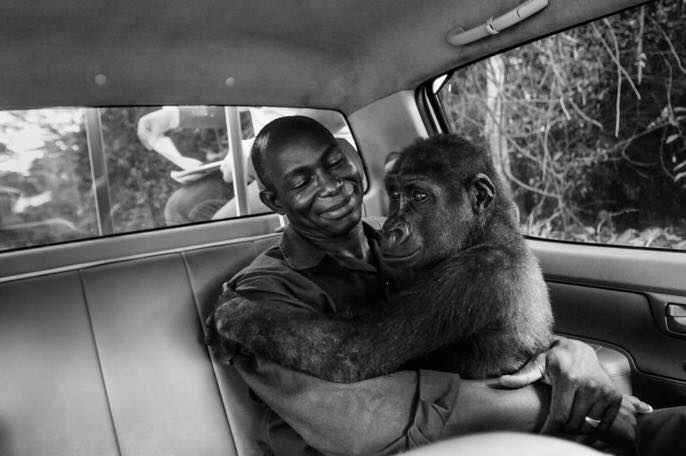JO-ANNE MCARTHUR WON THE PEOPLE'S CHOICE AWARD OF THE 2017 WILDLIFE PHOTOGRAPHER OF THE YEAR COMPETITION FOR HER IMAGE OF CAREGIVER, APPOLINAIRE AND HIS CHARGE, THE YOUNG WESTERN LOWLAND GORILLA, PIKIN. IMAGE: ©JO-ANNE MCARTHUR / WE ANIMALS