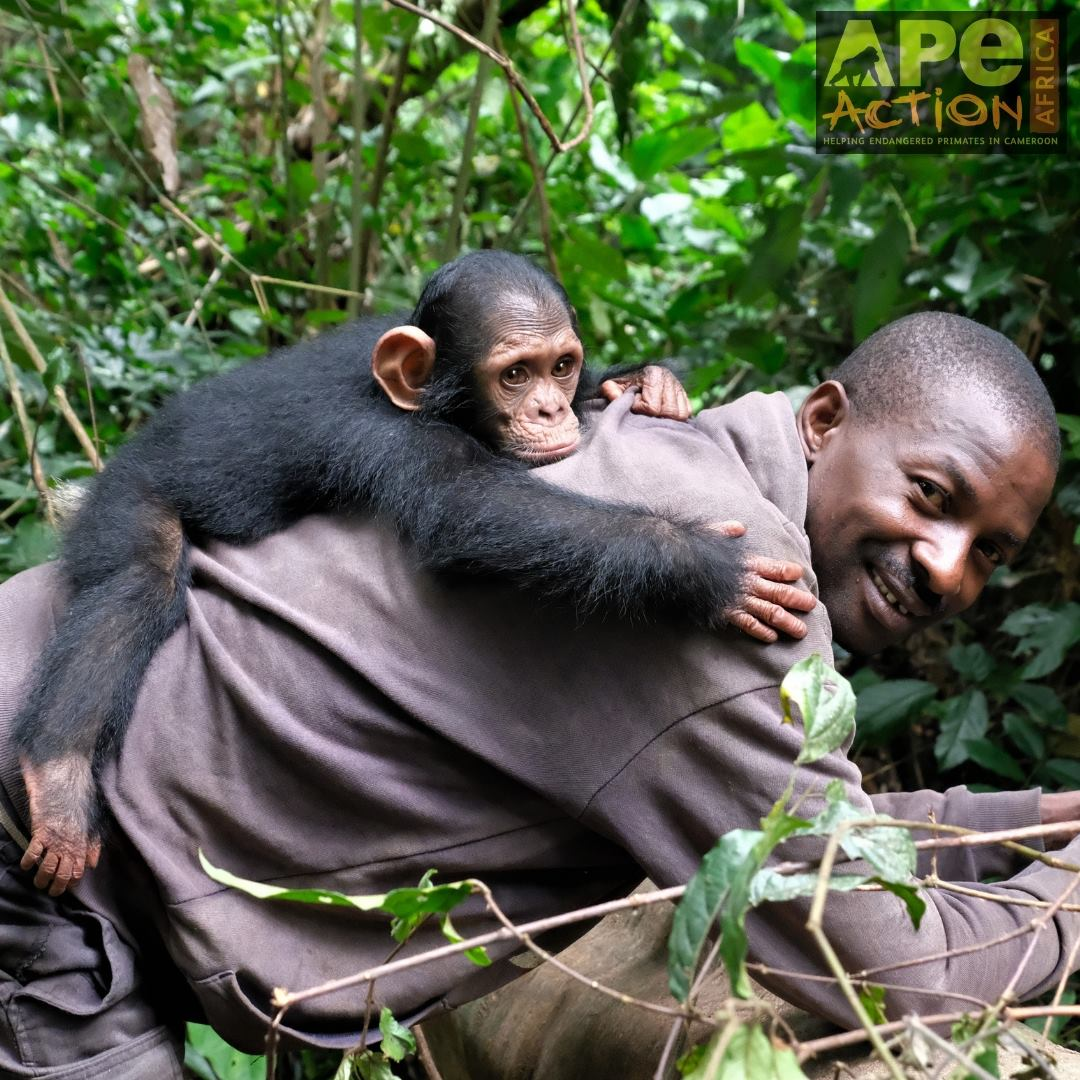 SANDA IS ONE OF THE MANY DEDICATED CAREGIVERS AT APE ACTION AFRICA. HE WILL HELP TO CARE FOR LITTLE NOAH, A RESCUED CHIMPANZEE UNTIL NOAH IS READY TO JOIN THE OTHER RESCUED CHIMPS. IMAGE: ©AMY HANES AND APE ACTION AFRICA (FACEBOOK)
