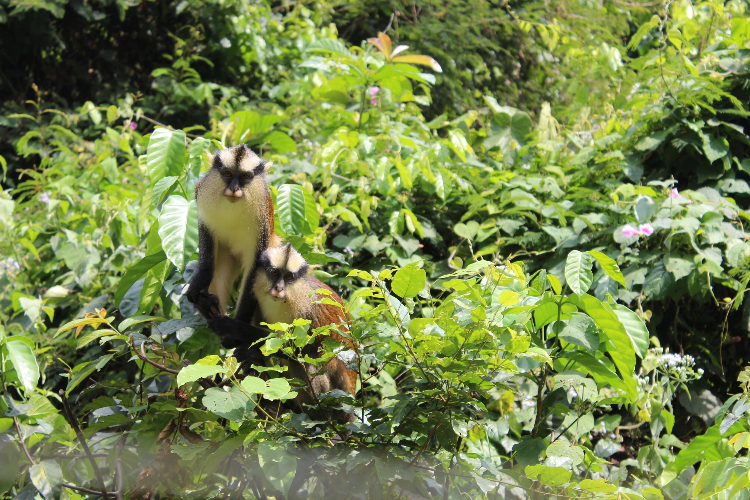 NUNU & SHERLOCK, CROWNED GUENON MONKEYS, HEALTHY AND THRIVING AT APE ACTION AFRICA