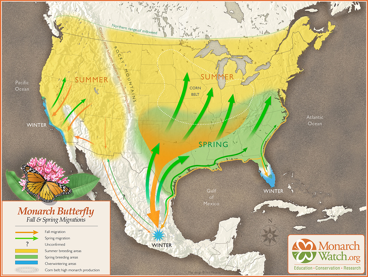 THE SPRING MIGRATION (MARCH-JUNE) THIS FIGURE IS AN INTERPRETATION OF THE ROUTES TAKEN BY MONARCHS DURING THE SPRING MIGRATION. THE PATHWAYS ARE BASED ON TAG RECOVERIES AND OBSERVATIONS OF MIGRATING MONARCHS. THE CAPTION AND THIS TWO-WAY MAP WAS CREATED BY  MONARCH WATCH  WITH THE HELP OF NOTED GRAPHIC ARTIST,  PAUL MIROCHA  FROM TUSCON, ARIZONA.