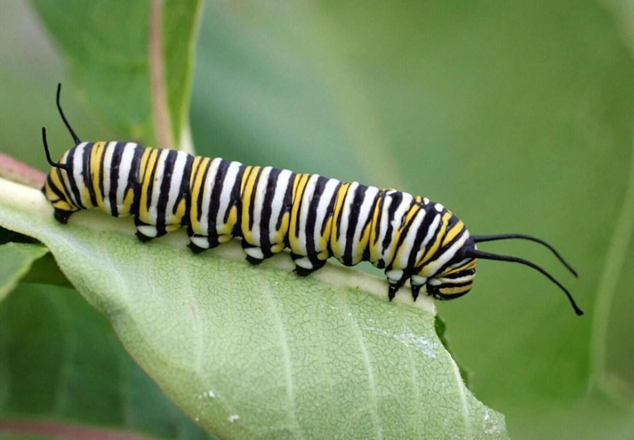 THE MILKWEED PLANT IS THE ONLY FOOD SOURCE FOR MONARCH LARVE. PHOTO CREDIT: RUSS OTTENS, UNIVERSITY OF GEORGIA, BUGWOOD.ORG C/O  ETOMOLOGY TODAY.ORG