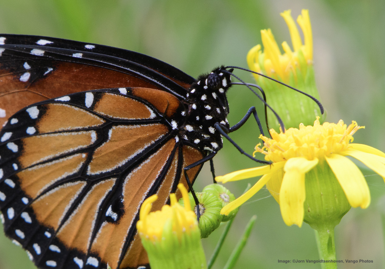 A MONARCH LOOK-ALIKE, QUEEN BUTTERFLY FEEDING. FOLLOWING THEIR FOOD SOURCE IS ONE REASON WHY THE BUTTERFLIES MIGRATE, BUT CAN THEY SURVIVE SHRINKING HABITAT AND THE AFFECTS OF CLIMATE CHANGE? Image: ©Jorn Vangoidtsenhoven, Vango Photos
