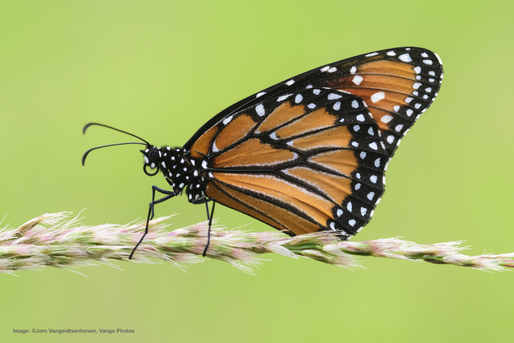 AMISTAD NATIONAL RECREATION AREA IS MY FAVORITE PLACE TO SEE BUTTERFLIES IN TEXAS. THIS IS ALSO A MONARCH LOOK-ALIKE. SEE THE CHART BELOW. CAN YOU IDENTIFY IT? IMAGE: Image: ©Jorn Vangoidtsenhoven, Vango Photos