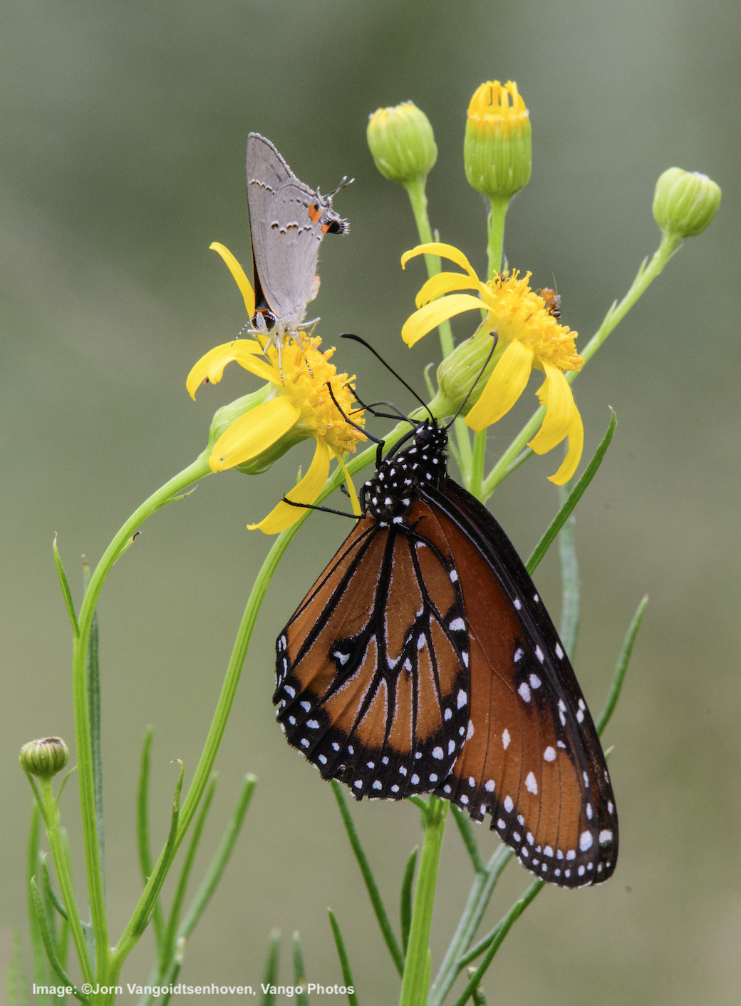 BUTTERFLIES, INCLUDING THIS MONARCH LOOK-ALIKE, MAKE A REST STOP. Image: ©Jorn Vangoidtsenhoven, Vango Photos