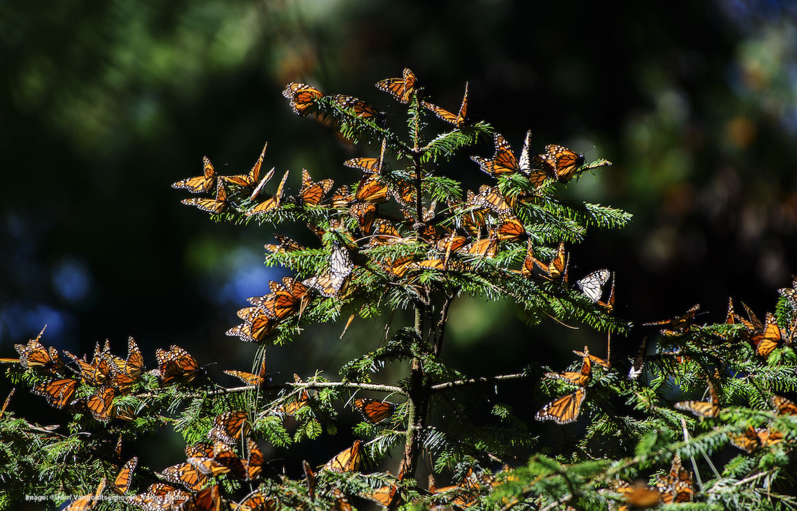 HAVE YOU SEEN ONE OF THE MOST INCREDIBLE MIGRATIONS ON THE PLANET? MONARCH BUTTERFLIES. Image: ©Jorn Vangoidtsenhoven, Vango Photos