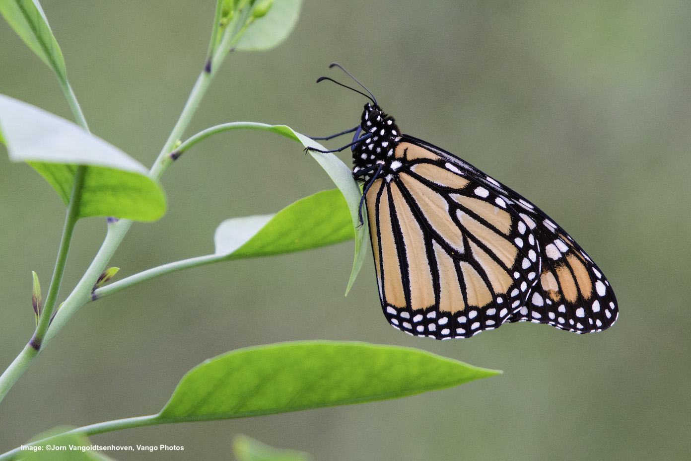THIS IS A MONARCH BUTTERFLY. THE SPECIES IS IN PETITION TO THE U.S.FISH AND WILDLIFE SERVICE TO BE ADDED TO THE ENDANGERED SPECIES LIST. IMAGE: ©Jorn Vangoidtsenhoven, Vango Photos