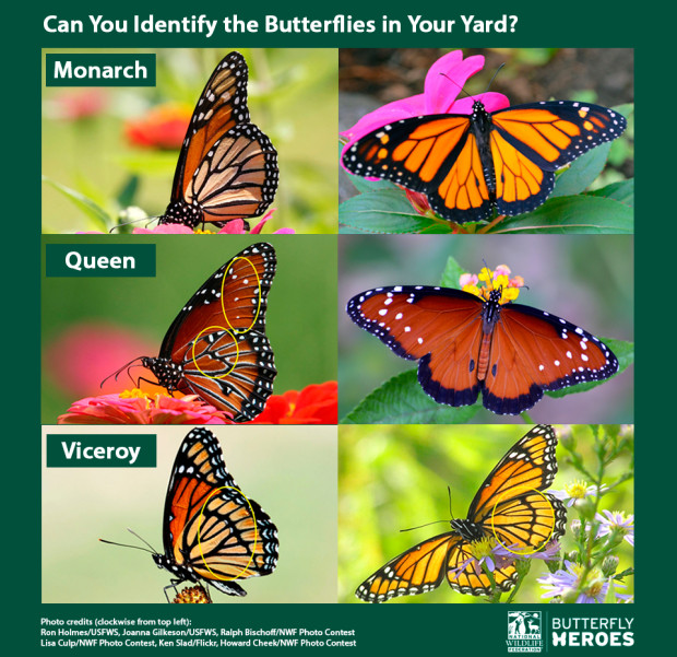 MONARCH BUTTERFLY IDENTIFICATION CHART FROM THE NATIONAL WILDLIFE FEDERATION.