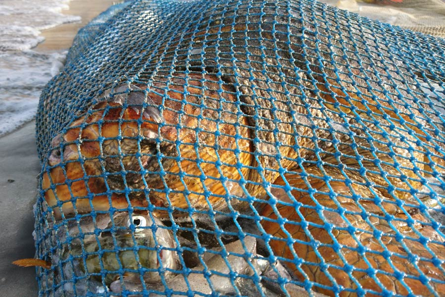 THERE ARE MANY REASONS FOR THE WORLD-WIDE DECLINE OF SEA TURTLES POACHING, POISONING FROM PLASTICS AND CHEMICALS, HABITAT LOSS, OR CAUGHT IN GHOST NETS OR AS  FISHING BY-PRODUCT LIKE THIS LOGGERHEAD SEA TURTLE . WE CAN HELP SAVE THEM BEFORE IT IS TOO LATE. IMAGE:  THE OLIVE RIDLY PROJECT